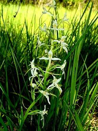 wilde orchideen selten und bedroht die gr ne ecke alle 14 tage folge 14 nrhz online. Black Bedroom Furniture Sets. Home Design Ideas